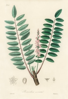 Illustration de boswellia serrata de medical botany (1836)