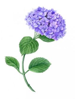 Illustration botanique aquarelle hortensia violet isolé