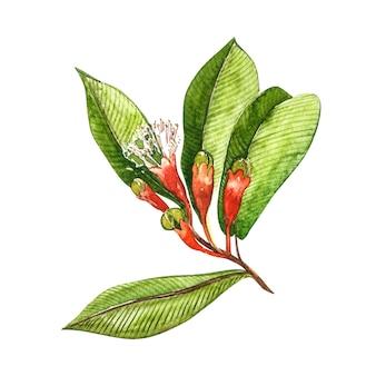 Illustration botanique de clous de girofle séchés de fleurs et de feuilles. collection de plantes toniques et épicées.