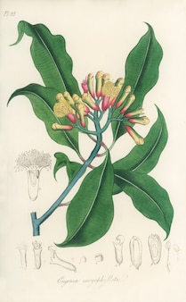 Illustration de clous de girofle (eugenia caryophyllata) d'après medical botany (1836)
