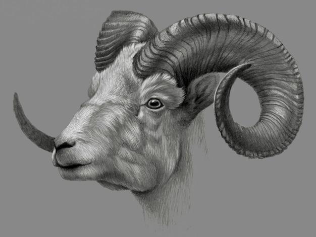 Illustration dessinée à la main de chèvre