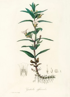 Illustration de gratiola officinalis de medical botany (1836)