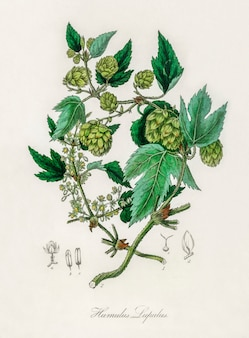 Illustration de hop (humulus lupulus) d'après medical botany (1836)