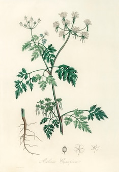 Illustration de poison persil (aethusa cynapium) de medical botany (1836)