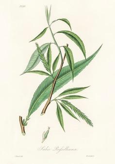 Illustration de salix rufselliana de medical botany (1836)