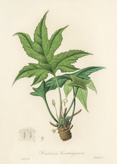 Illustration de snakewort (dorsternia contrajerva) de medical botany (1836)