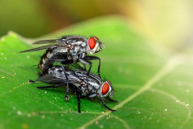 Image d'accouplement de mouches sur des feuilles vertes. insecte. animal