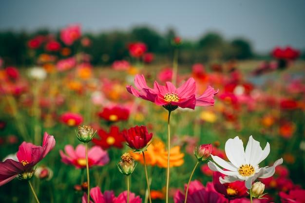 Image de beau paysage avec champ de fleurs de cosmos au coucher du soleil.