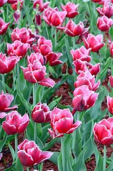 Image de belles tulipes sur peu profonde profondeur de champ se bouchent