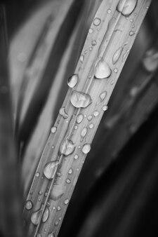 Image de brin d'herbe noir et blanc avec des gouttes d'eau