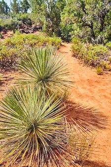 Image de cactus sphériques le long d'un chemin du désert de sable rouge devils bridge