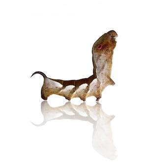 Image de chenille brune isolée sur fond blanc