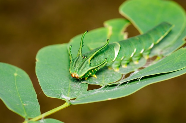 Image de chenille de papillon nawab commun (polyura athamas) ou caterpillar à tête de dragon sur la nature. insecte. animal.
