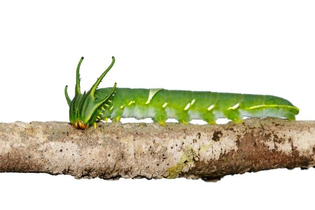 Image de chenille de papillon nawab commun (polyura athamas) ou chenille à tête de dragon sur fond blanc. insecte. animal.