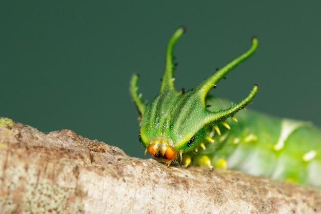 Image de chenille de papillon nawab commun (polyura athamas) ou chenille à tête de dragon sur fond de nature. insecte. animal.