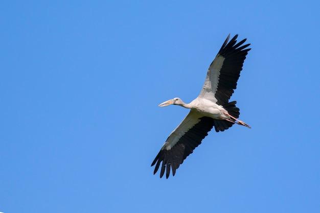 Image de cigogne openbill asiatique volant dans le ciel. animaux sauvages.