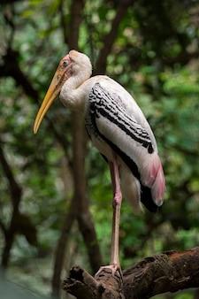 Image de la cigogne peinte (mycteria leucocephala) sur fond de nature. animaux sauvages. oiseau,