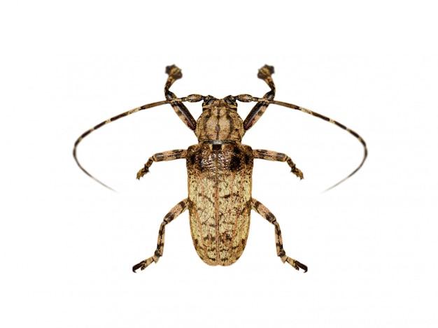 Image de coléoptère moechotypa (longhorn) isolé sur fond blanc