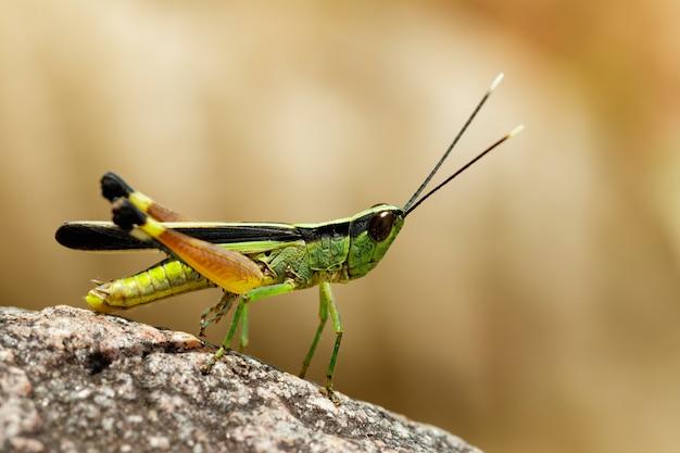 Image du criquet à pointe blanche de la canne à sucre (ceracris fasciata) sur un rocher. insecte. animal. caelifera., acrididae
