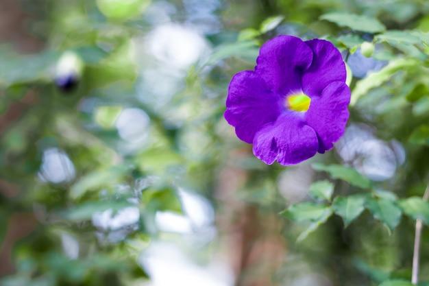 L'image est un arrière-plan flou. la couleur pourpre des fleurs est magnifique.