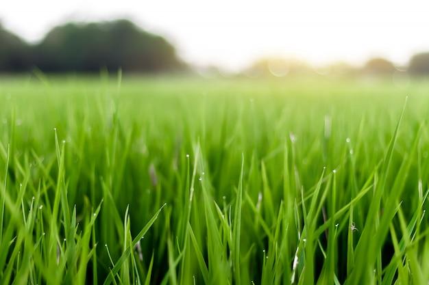 L'image est floue, les champs de riz avec le soleil orange est de belles images.