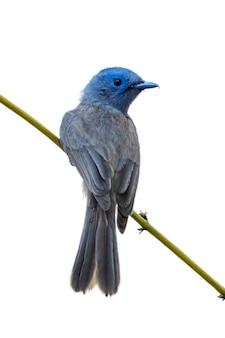 Image de femelle monarque à nuque noire (hypothymis azurea) sur une branche d'arbre sur fond blanc. des oiseaux. animal.