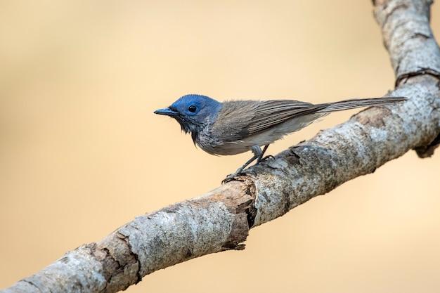 Image de femelle monarque à nuque noire (hypothymis azurea) sur une branche d'arbre sur fond de nature. des oiseaux. animal.