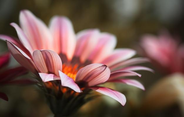 Image floue de fleurs de gerbera