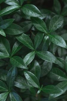 Image de fond sombre. tapis de feuilles de pervenche. vue de dessus. mise à plat, espace de copie. verticale