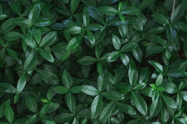 Image de fond sombre. tapis de feuilles de pervenche. vue de dessus. mise à plat, espace de copie