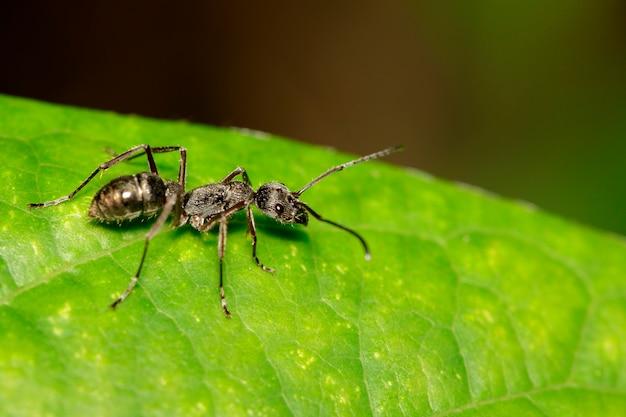 Image de fourmi (polyrhachis plonge) sur feuille verte. insecte. animal.