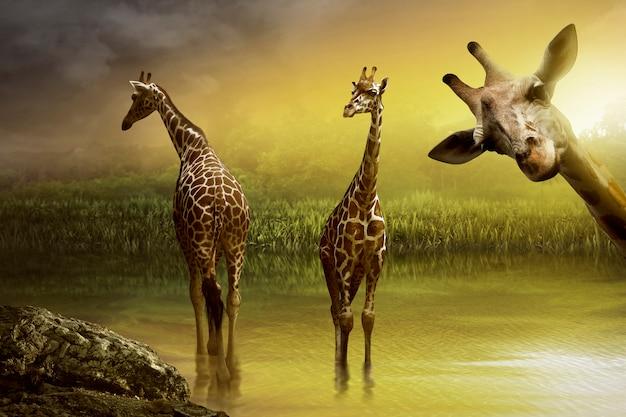 Image de girafe buvant