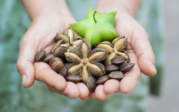Image de graine de cacahuète sacha inchi dans les mains