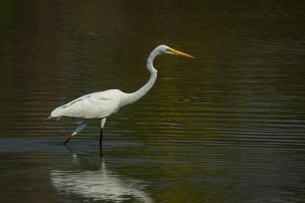 Image de la grande aigrette de l'est (ardea alba) dans le marais sur fond de nature. oiseau. animaux.