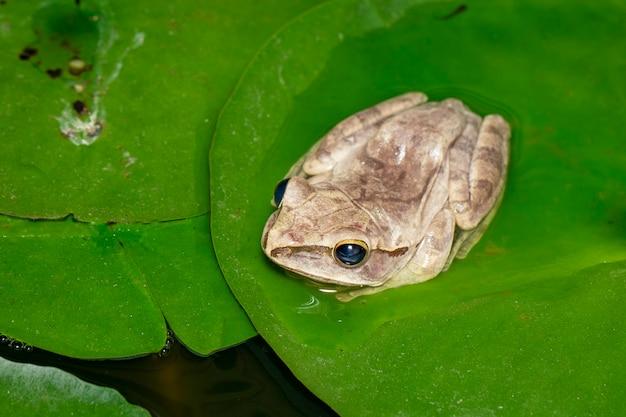 Image de grenouille arboricole commune, grenouille arboricole à quatre lignes, rainette dorée, (polypedates leucomystax) sur la feuille de lotus.