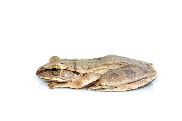 Image de grenouille arboricole commune, grenouille arboricole à quatre lignes, rainette dorée, (polypedates leucomystax) on white