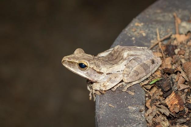Image de grenouille arboricole commune, rainette à quatre lignes, rainette dorée