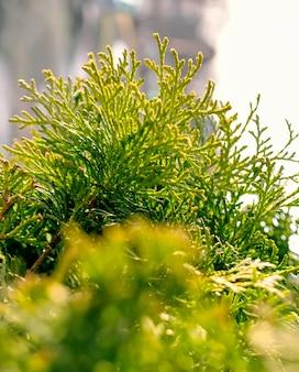 Image en gros plan d'un beau feuillage vert sur une branche de thuya. mise au point sélective. fond de branche de thuya.