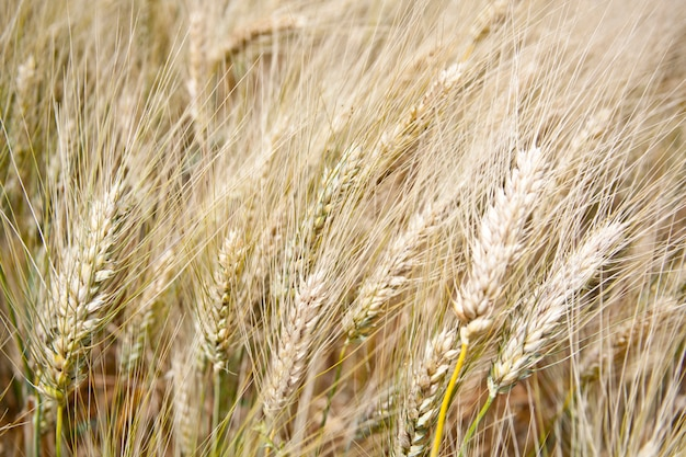 Image gros plan du champ de blé.