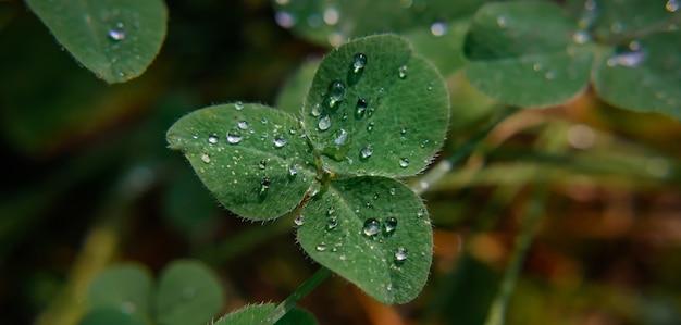 Image en gros plan de gouttes de pluie sur les trèfles à trois feuilles. macro image trèfle vert avec des gouttes de rosée sur les pétales. concept de vacances de saint patrick.
