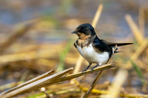 Image d'hirondelle rustique (hirundo rustica). oiseau. animal.