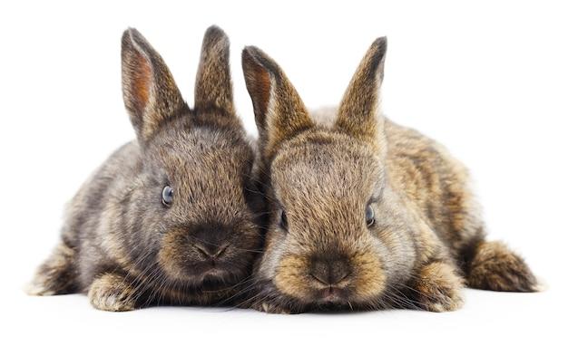 Image isolée d'un deux lapins