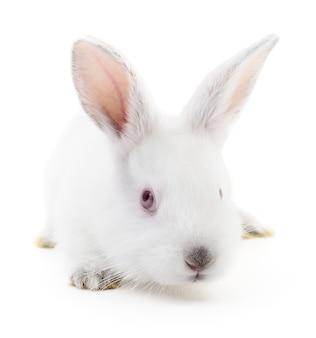 Image isolée d'un lapin blanc