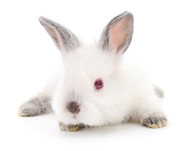 Image isolée d'un lapin blanc.
