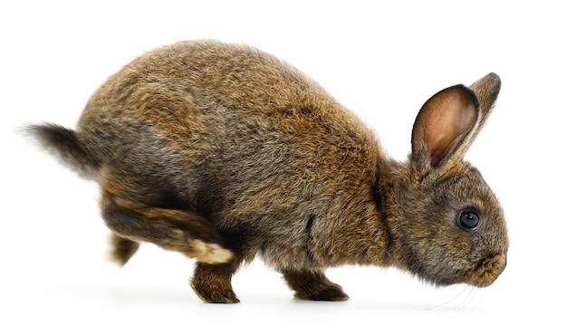 Image isolée d'un lapin brun