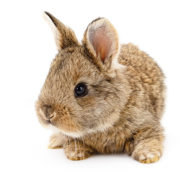 Image isolée d'un lapin brun.