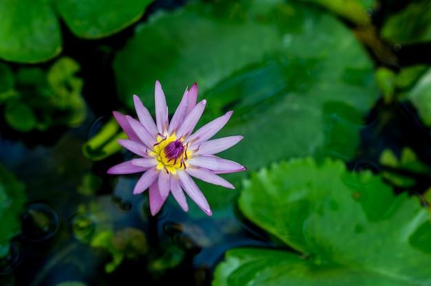 L'image de lotus qui se produit naturellement dans l'eau concept de vue lotus avec espace de copie