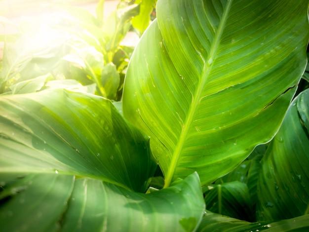 Image macro de belles feuilles de palmier bananier dans les rayons lumineux du soleil. gros plan de feuilles d'arbres tropicaux