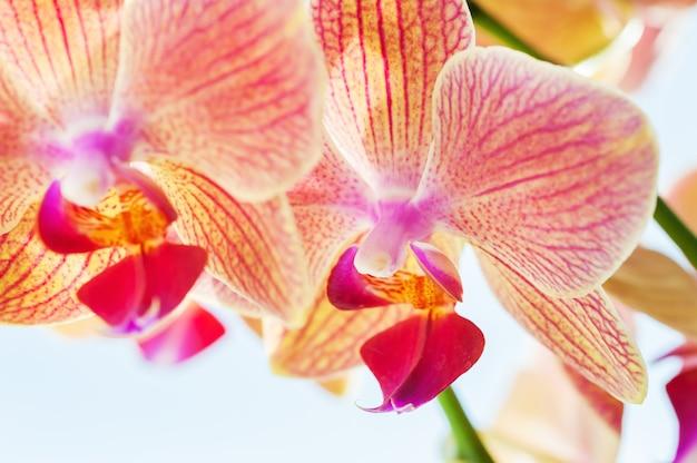Image macro de fleur d'orchidée rouge. belle nature printanière