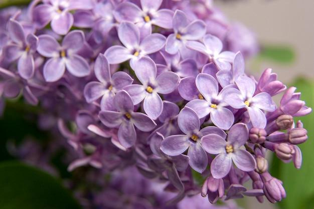 Image macro de fleurs violettes lilas de printemps, fond floral doux abstrait
